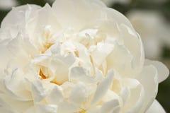 White peony Royalty Free Stock Photo