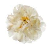 White peony flower Royalty Free Stock Photos