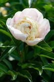 White peony flower on a background of green leaves in the garden