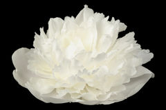White Peony Flower on Black Background Royalty Free Stock Images