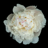 White peony flower Royalty Free Stock Images