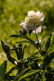 White peony flower and buds Stock Photography