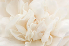 White peony flower Stock Images
