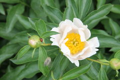 White peony flower with a ladybug and bee on the petal. Bud white peony flower with a ladybug and bee on the petal Royalty Free Stock Photography