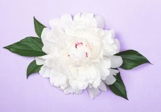 White peony flower and leaves on pastel purple background. Top view. Flat lay royalty free stock image