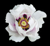 White peony flower macro photography. Isolated on black Royalty Free Stock Image
