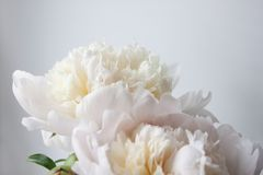 Free White Peony Flower. Macrophoto. Floral Background Royalty Free Stock Photography - 150454677