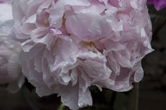 White Peony Flower With Pink Edges Slightly Wilted Yet Beautiful with Raindrops royalty free stock image