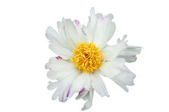 White peony flower with pink spots on petals, with a large yellow middle, on a white isolated background Stock Photography