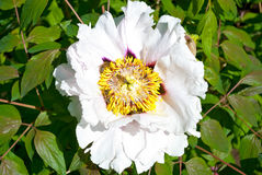 White Peony Flower tree Stock Images