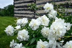 White Peonies Blooming in Garden Stock Photos