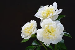 White peony Royalty Free Stock Photos