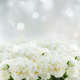 White peony flowers Stock Photo