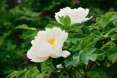 White peony in full bloom Stock Image