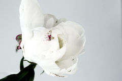 White peony on a gray background. White peony on gray background closeup royalty free stock photo