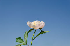 White peony with green leaves blue sky background Royalty Free Stock Photography
