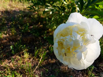 A white peony. A huge white peony is attacked by ants Royalty Free Stock Photos