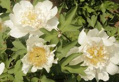 White peony of luoyang china. White peony flowers Bees Spring Flower on zhe hill Peony of luoyang china Colors of spring Spring outing royalty free stock photography