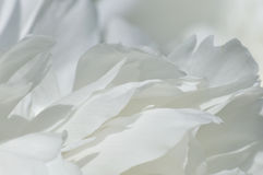 White peony petals Royalty Free Stock Image