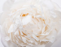 White peony petals closeup, summer flowers macro shot. Natural t Stock Photo