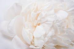 White peony petals closeup, summer flowers macro shot. Natural t Stock Images