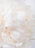 White peony petals closeup, summer flowers macro shot. Natural t Stock Photo