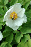 White peony with rose chafer Royalty Free Stock Images