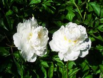 White peony roses. White peony rosebush detail close up royalty free stock images