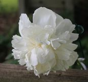 White Peony. A single white peony in full bloom Royalty Free Stock Photos