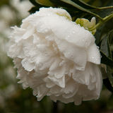 White peony. With water drops Royalty Free Stock Image