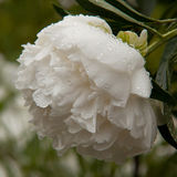 White peony. With water drops Stock Photography