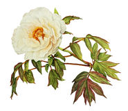 White Peony watercolor. On white Royalty Free Stock Photography