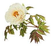 White Peony watercolor vector illustration
