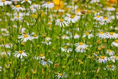 White perennial asters Royalty Free Stock Images