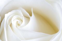 White perfection. Rose displaying subtle shades of white Royalty Free Stock Photos