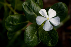 White Periwinkle Royalty Free Stock Images