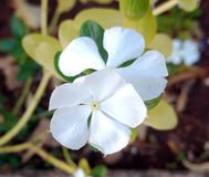 White periwinkle. Flower of a white periwinkles Stock Photography