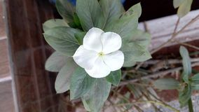 White periwinkle in local garden royalty free stock photo