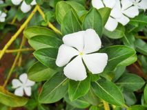 The White Periwinkle Stock Image