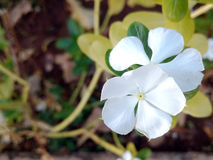 White periwinkles. With five petals Royalty Free Stock Images