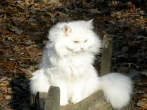 White Persian Cat. A white Persian cat setting on a wood Wheel barrow planter royalty free stock photo