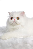 White Persian. Cat set on a white background Royalty Free Stock Image