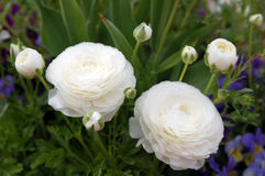 White Persian Buttercup. (only in Spring Royalty Free Stock Photography