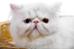 White persian cat Royalty Free Stock Photo
