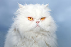 White Persian cat. Portrait of a white Persian cat isolated on blue sky background Stock Images