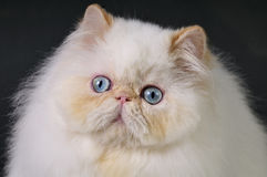 White Persian cat Stock Photography