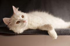 White persian cat Royalty Free Stock Images