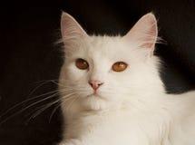 White persian cat Stock Photo