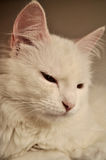 White persian cat Royalty Free Stock Image