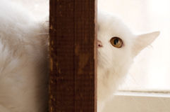 White persian cat Stock Photos
